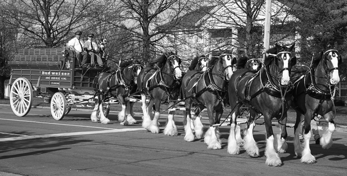 Budweiser horses.png